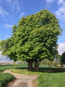 chestnut_tree_landscape_239283